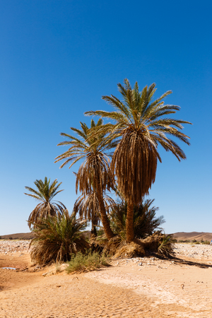 palm in the  desert oasi morocco sahara africa dune Stock Photo