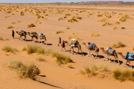 caravan: caravan of camels in the Sahara desert in Morocco