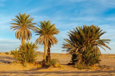 oasis: palm in the  desert oasis morocco sahara africa