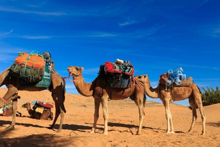 caravane de chameaux dans le désert du Sahara au Maroc