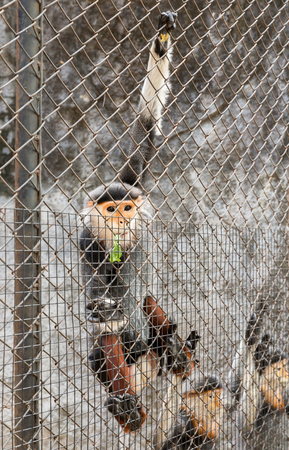cage gorilla: red-shanked douc langur in the zoo, Thailand