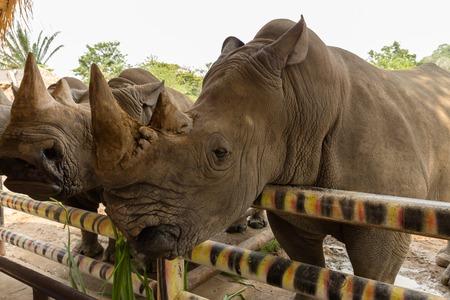 munching: head white rhino munching grass in a zoo