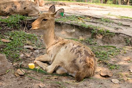siamensis: burmese brow-antlered deer, Eld s deer, Thailand