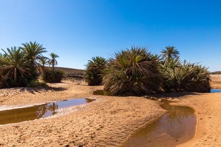 plantas del desierto: agua en el oasis, desierto del Sahara en Marruecos