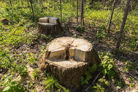 sawn: birch tree stump in the forest, summer Stock Photo