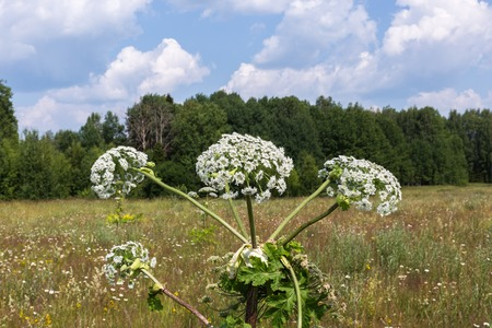 cow parsnip blossoms on blue sky background