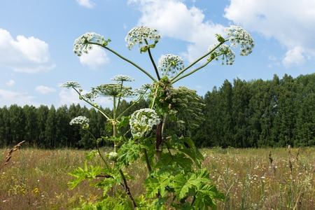 invade: Hogweed blooms in a field on blue sky background