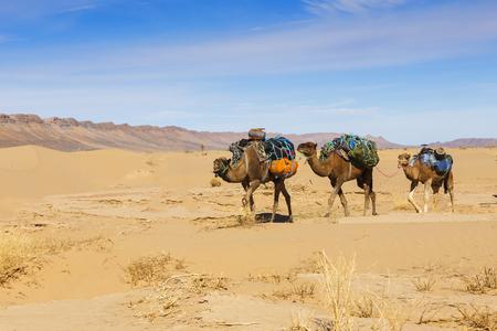 Caravane de chameaux dans le désert