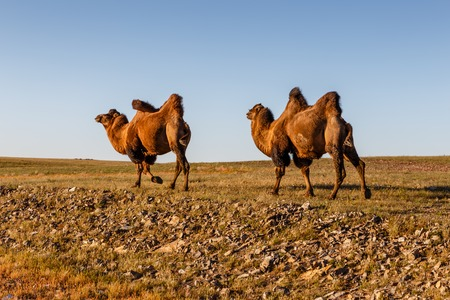 Two two-humped camels walk in the steppes of Mongolia. Gobi Desert