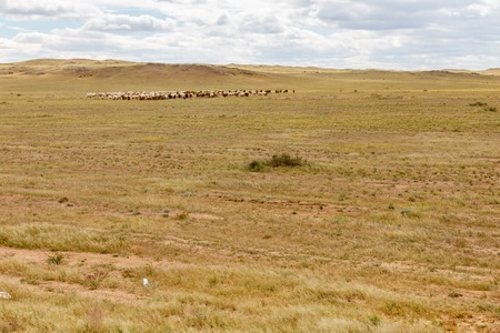 flock of sheep grazing in the Gobi Desert, Mongolia