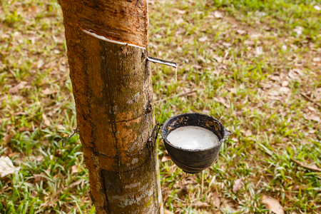 Rubber tree and cup of latex in the rubber plantation, Laos