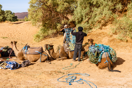 Errachidia Province, Morocco - October 22, 2015: Two Berber men are preparing a caravan of camels for a hike. Loading things on camels.