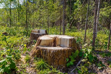 stumps in the forest, remnants of felled tree, deforestation