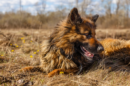 German Shepherd Dog lying on the dry grass in the spring and looking to the side Banco de Imagens