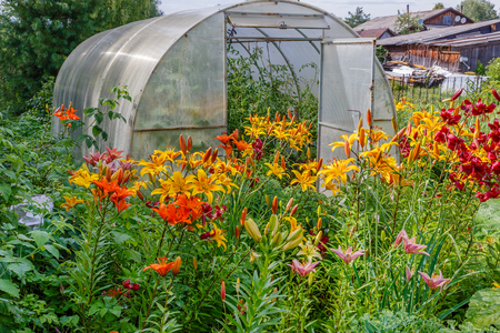 greenhouse with tomatoes, Alstroemeria Sweet Laura, yellow flowers in the garden