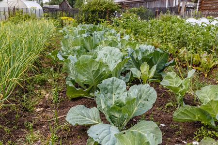 cabbage in the garden, fresh kitchen garden cabbage Zdjęcie Seryjne
