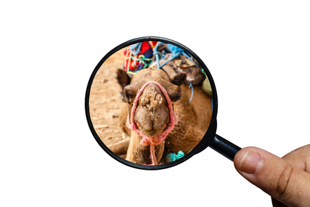 swarm of flies on the nose of a camel, the head of a camel, view through a magnifying glass on a white background, magnifying glass in hand Banque d'images