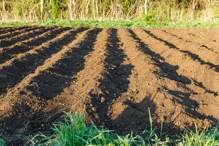 small potato field, Potato ridges with recently seeded potatoes