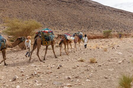 Camels caravan in the sahara desert, caravan goes along the stone desert along the mountains, Morocco