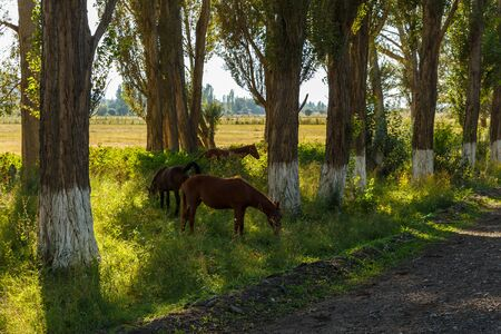 Horse family under trees, three horses graze between trees near the road, Issyk-Kul, Kyrgyzstan