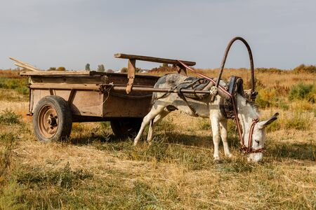 donkey harnessed to an iron cart stands in a meadow and eats grass 스톡 콘텐츠