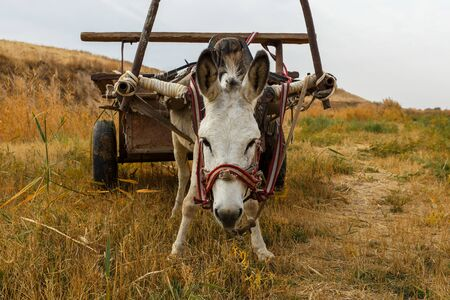 donkey with a cart in the field, donkey looks at the camera 스톡 콘텐츠
