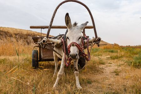 a donkey with a cart stands in a meadow and looks forward