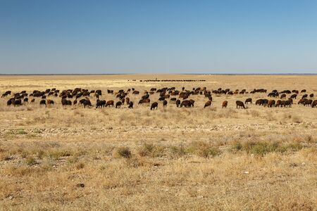 flock of sheep grazes in the steppes of Kazakhstan