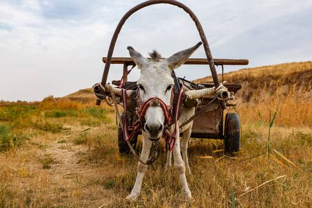 A cart-drawn donkey stands in a pasture and looks at the camera.