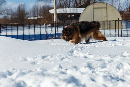 German shepherd dog runs through the snowdrifts in the yard on a sunny winter day. 版權商用圖片