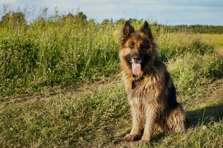 German shepherd dog with its tongue hanging out sitting in the grass in the meadow.