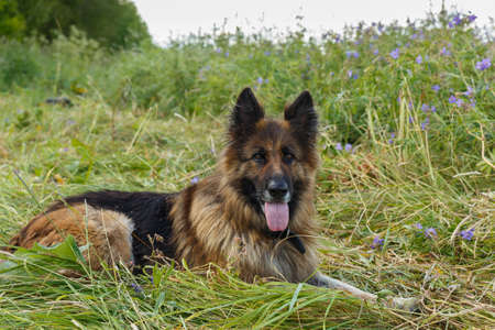German shepherd dog with its tongue hanging out lies on a flower meadow.