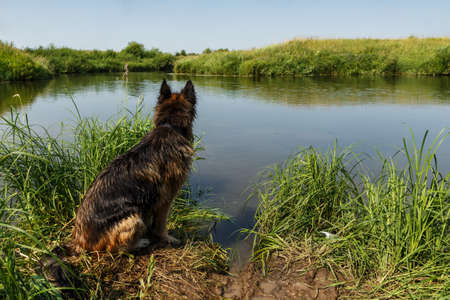 German shepherd dog sitting on the river bank. The dog sits with its back.
