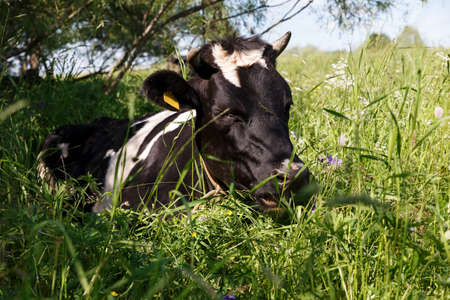 A black and white cow lies in the grass in the pasture. The cow lies in the shade of a tree.