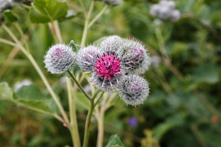 Blooming medicinal plant burdock. Arctium lappa commonly called greater burdock.