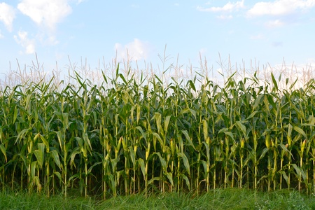 A green field of corn growing up photo