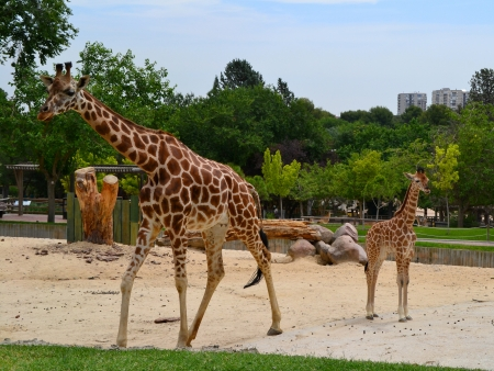 Two giraffes in the field in the zoo