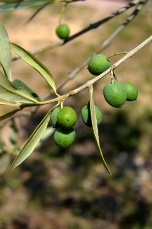 View of a tree with olives photo
