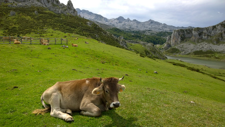 covadonga: Cow in a pasture at Covadonga Lakes in Picos de Europa, Asturias - Spain Stock Photo