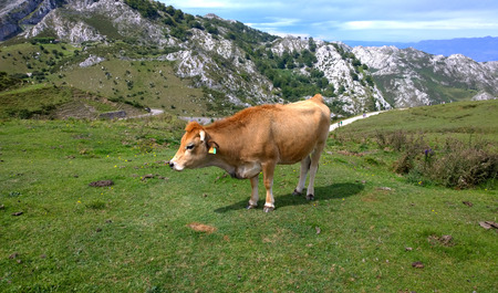 europa: Cow in a pasture at Covadonga Lakes in Picos de Europa, Asturias - Spain Stock Photo