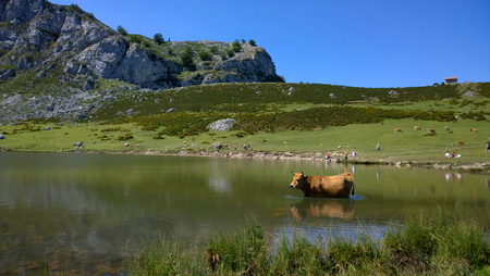 View of a cow at Lake Ercina in Lakes of Covadonga, Asturias - Spain