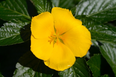 A Yellow flower with the morning dew still upon its petals