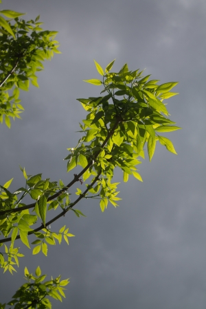 exceptionally: Sunlight breaking through the clouds and hitting fresh spring leaves after a storm making them semi-transparent and exceptionally green