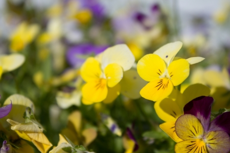 A number of different colored pansies  Viola tricolor  in a flowerbed in full bloom