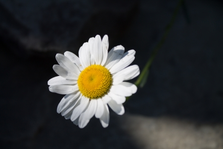 breaking out: A lone Daisy  Bellis perennis  breaking out of the shadows and rocks for the sunlight