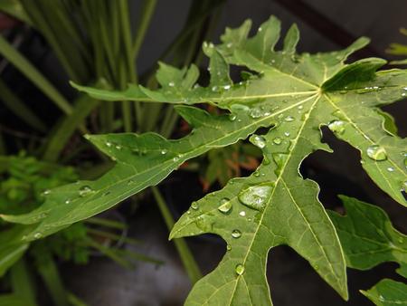 leafs: Papaya leafs with raindrop