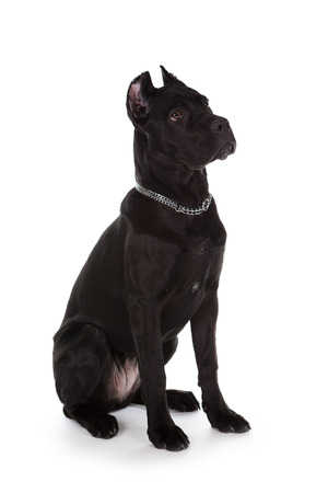 Cane corso, black dog on the white background Stock Photo