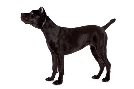 cane corso: Cane Corso, cane nero su sfondo bianco