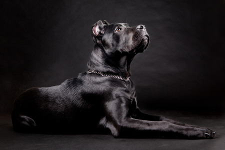 Cane corso, black dog on the black background Reklamní fotografie - 26503891