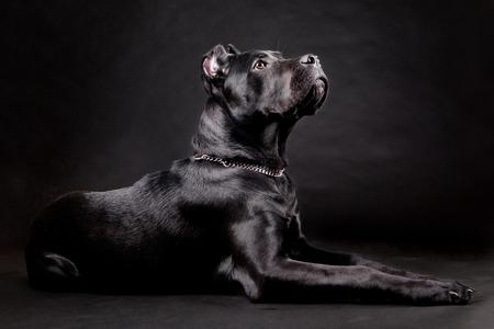 Cane corso, black dog on the black background